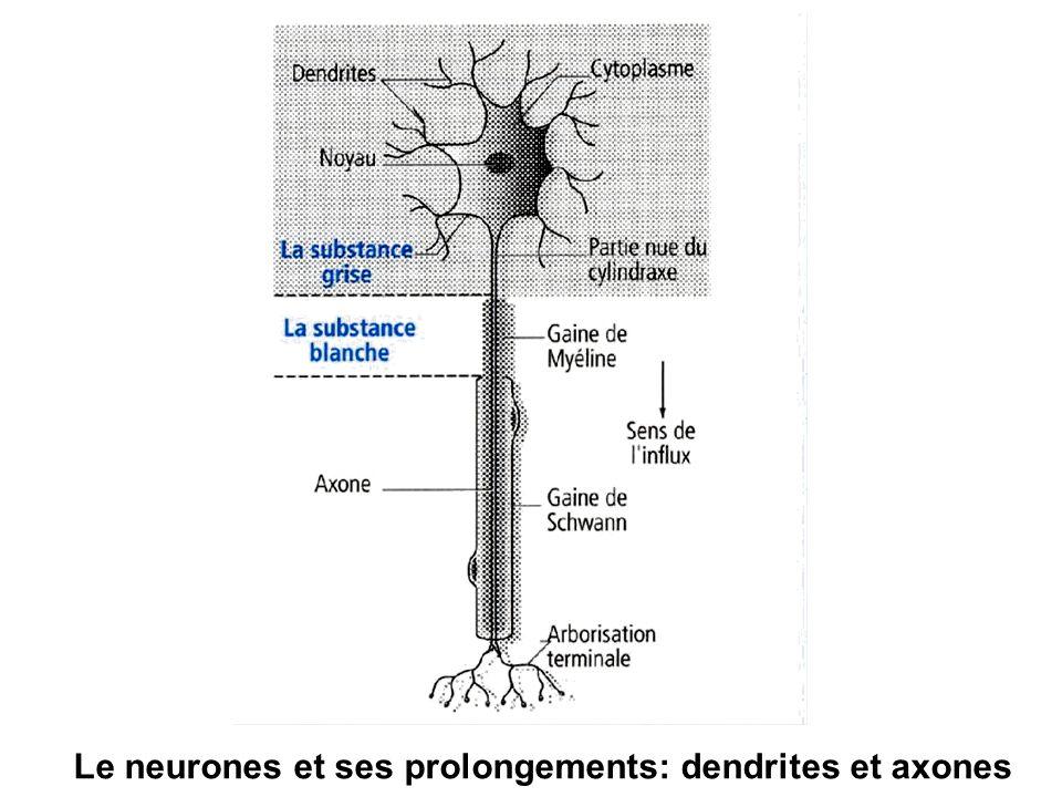 Le neurones et ses prolongements: dendrites et axones
