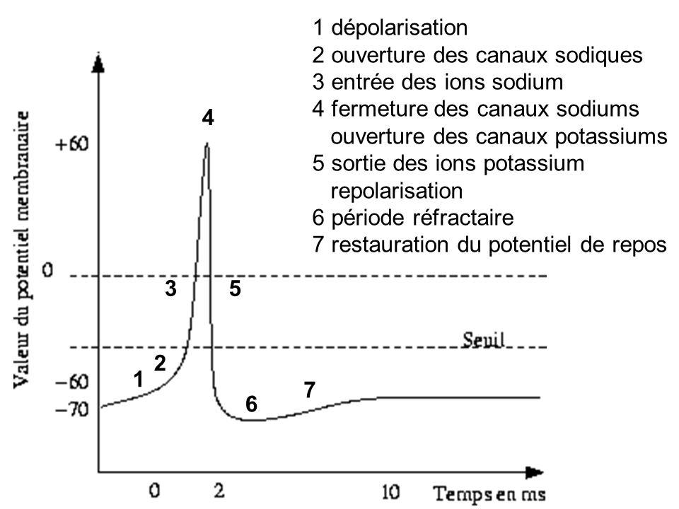 1 2 35 4 6 7 1 dépolarisation 2 ouverture des canaux sodiques 3 entrée des ions sodium 4 fermeture des canaux sodiums ouverture des canaux potassiums 5 sortie des ions potassium repolarisation 6 période réfractaire 7 restauration du potentiel de repos