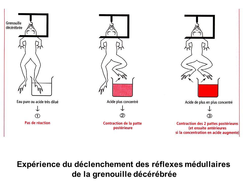 Expérience du déclenchement des réflexes médullaires de la grenouille décérébrée