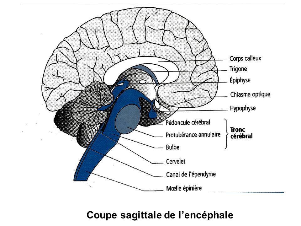 Coupe sagittale de lencéphale