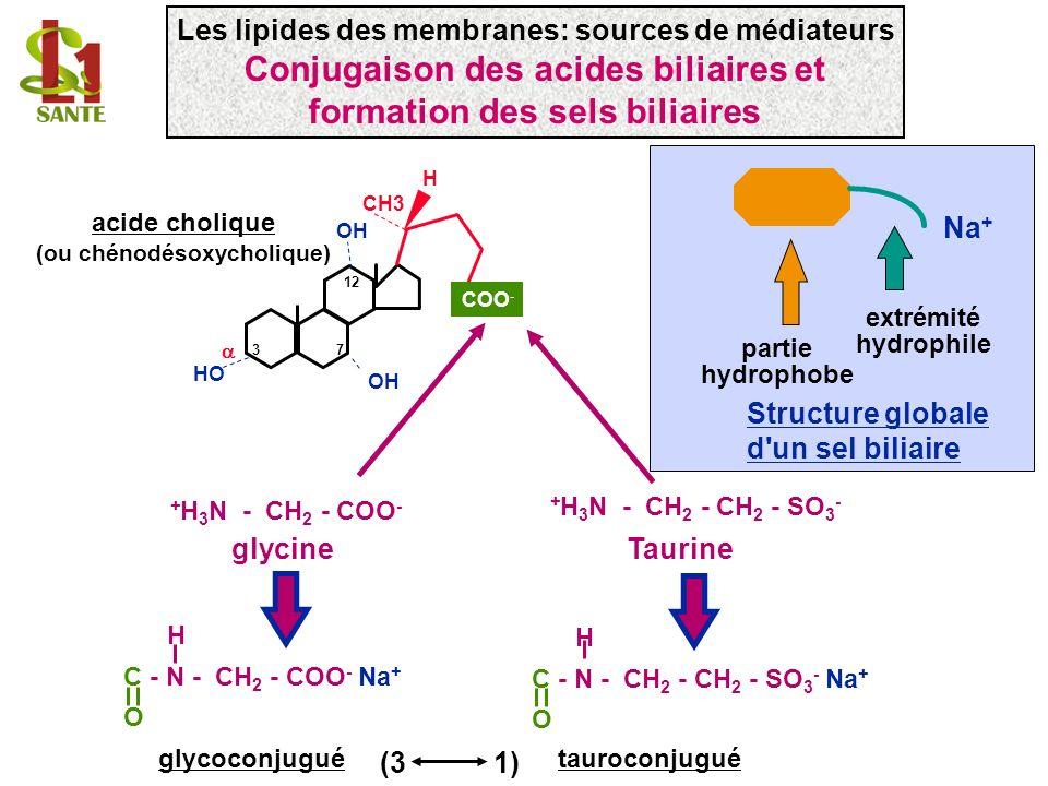H HO OH COO - CH3 37 12 acide cholique (ou chénodésoxycholique) Na + partie hydrophobe extrémité hydrophile Structure globale d'un sel biliaire H C -