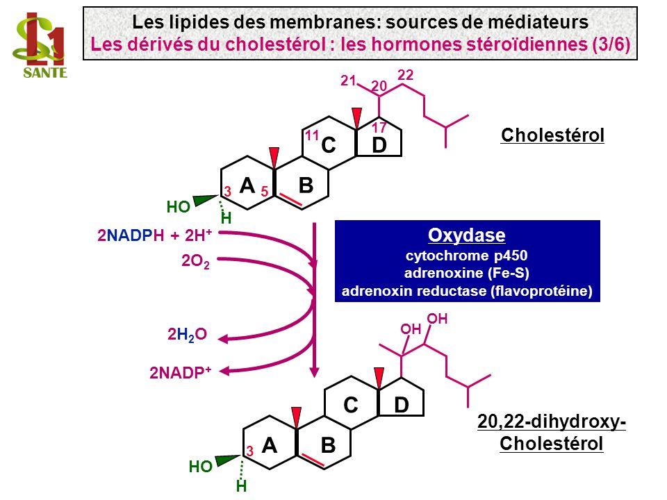 H 22 H HO 3 AB CD H OH 2NADPH + 2H + 2NADP + 2O 2 2H2O2H2O Oxydase cytochrome p450 adrenoxine (Fe-S) adrenoxin reductase (flavoprotéine) Cholestérol 2