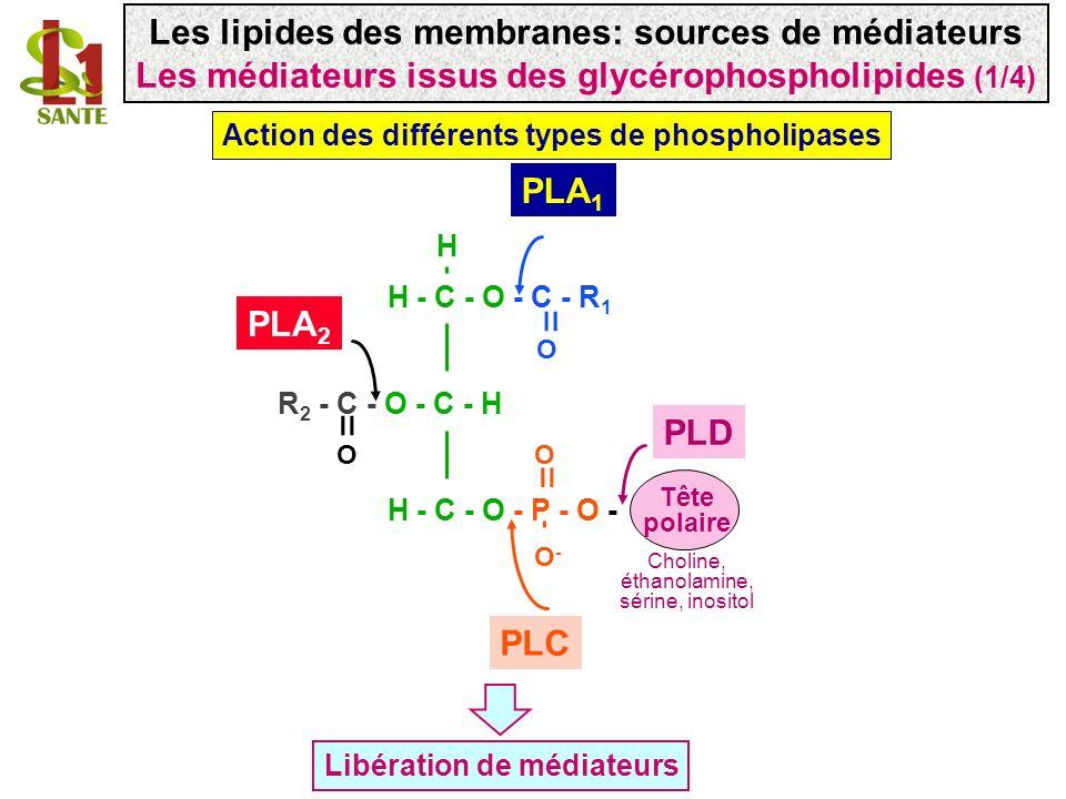 Acide phosphatidique PLD PLA 2 Lyso- Phospho- lipide R2-COOH acide arachidonique PLA 1 PLA 2 Prostaglandines leucotriènes O-O- H H-C-O-C- R1 O R2-C-O-CH O O H-C-O -- P-O H = = = HO OH P P Produits formés par les phospholipases Diglycéride PLC Inositol 1,4,5 triphosphate PLC Les lipides des membranes: sources de médiateurs Les médiateurs issus des glycérophospholipides (2/4)