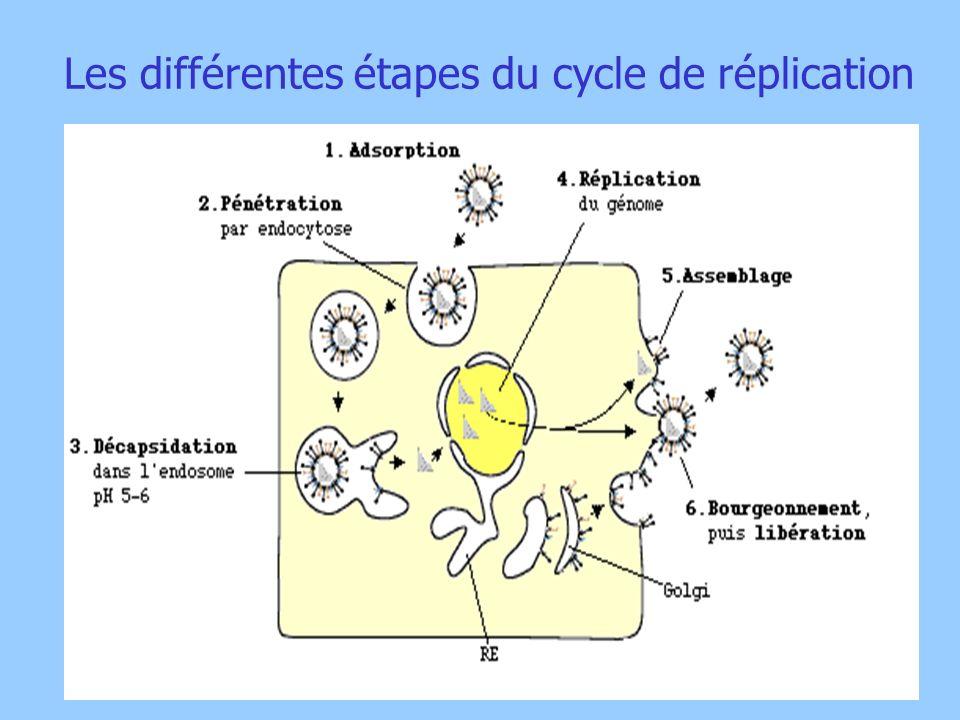 Les différentes étapes du cycle de réplication