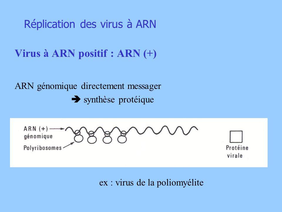 Réplication des virus à ARN Virus à ARN positif : ARN (+) ARN génomique directement messager synthèse protéique ex : virus de la poliomyélite