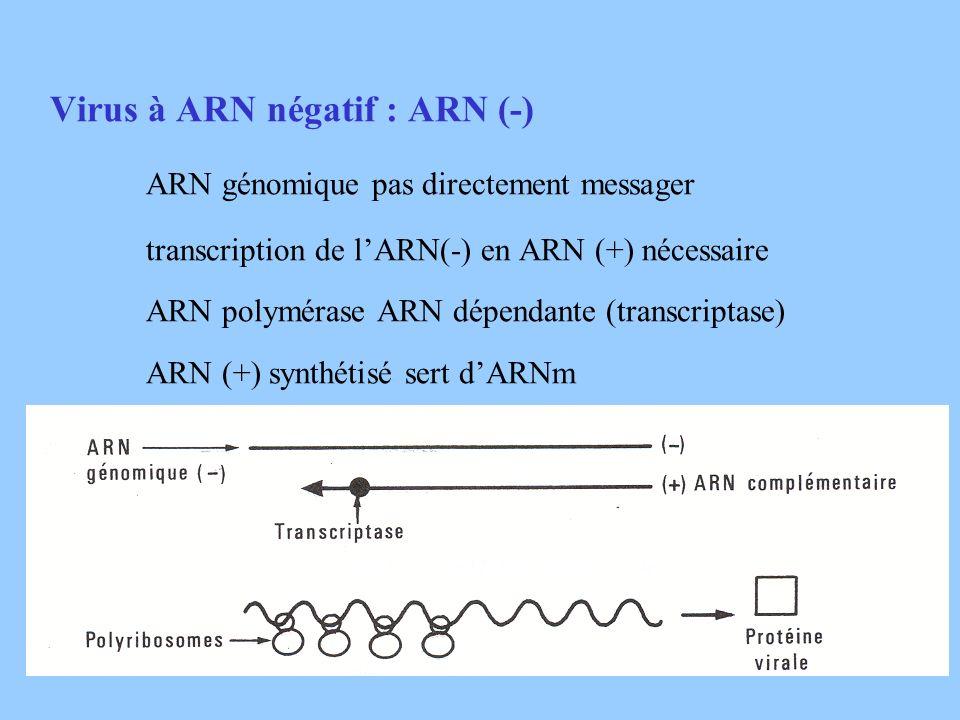 Virus à ARN négatif : ARN (-) ARN génomique pas directement messager transcription de lARN(-) en ARN (+) nécessaire ARN polymérase ARN dépendante (tra