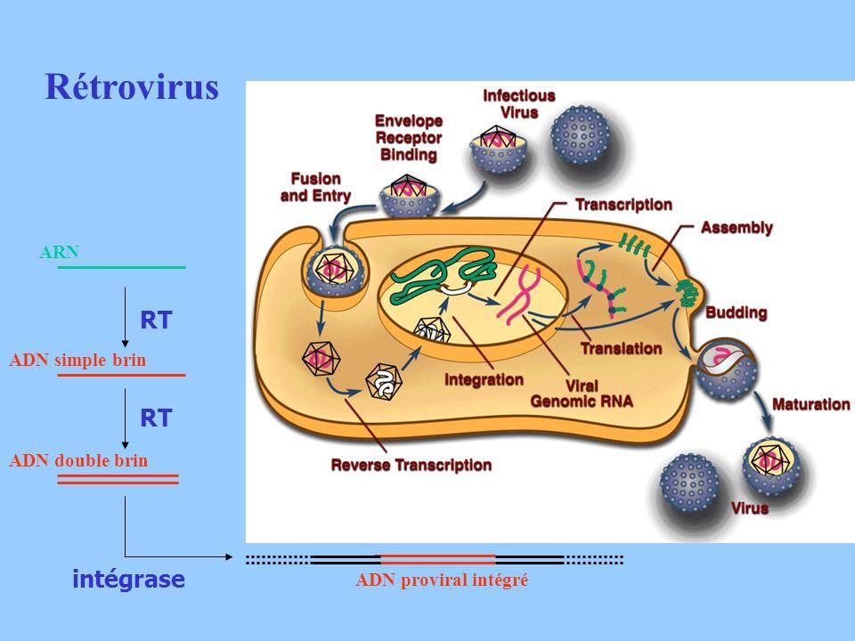 Rétrovirus ARN ADN simple brin ADN double brin ADN proviral intégré RT intégrase