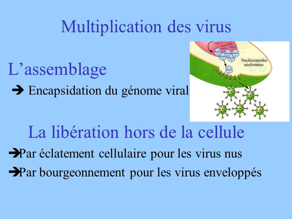 Multiplication des virus Lassemblage Encapsidation du génome viral La libération hors de la cellule èPar éclatement cellulaire pour les virus nus èPar