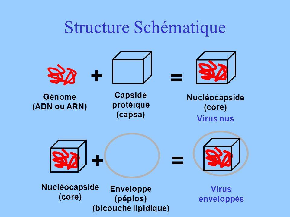 Structure Schématique Génome (ADN ou ARN) Capside protéique (capsa) + Nucléocapside (core) = Virus nus Enveloppe (péplos) (bicouche lipidique) + = Vir