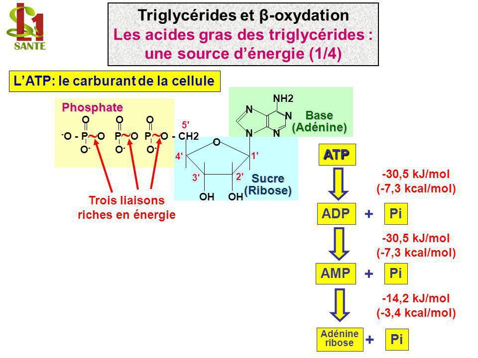 LATP: le carburant de la cellule - O - P O P O P O - CH2 N N N N NH2 OH OOO O-O- O-O- O-O- 1' 2' 3' 4' 5' O Phosphate Sucre(Ribose) Base(Adénine) Troi