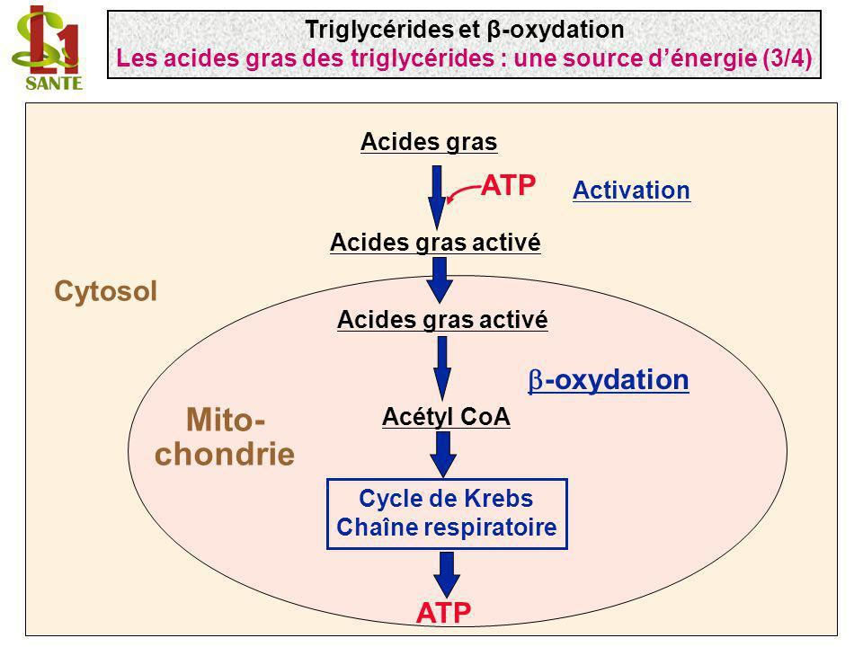 Acides gras Acétyl CoA -oxydation Cycle de Krebs Chaîne respiratoire ATP Acides gras activé Activation ATP Mito- chondrie Cytosol Triglycérides et β-o