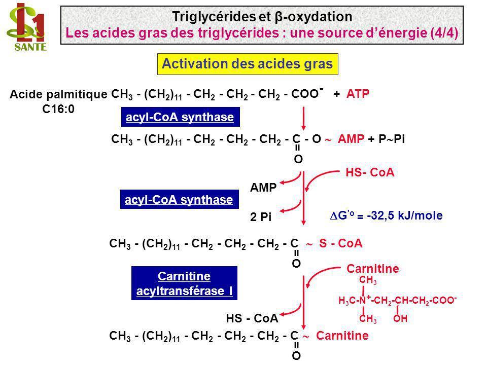 CH 3 - (CH 2 ) 11 - CH 2 - CH 2 - CH 2 - COO - + ATP CH 3 - (CH 2 ) 11 - CH 2 - CH 2 - CH 2 - C - O AMP + P Pi O = acyl-CoA synthase CH 3 - (CH 2 ) 11
