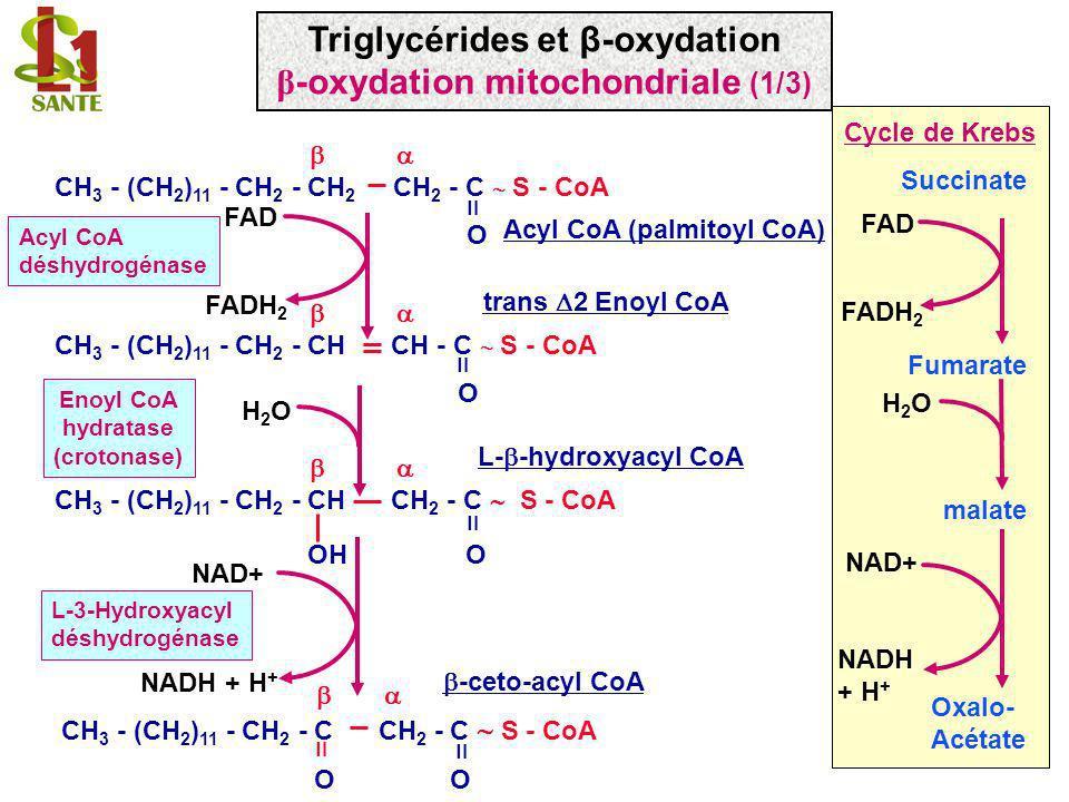 Oxalo- Acétate Succinate Fumarate malate NAD+ NADH + H + H2OH2O Cycle de Krebs FAD FADH 2 NAD+ NADH + H + -ceto-acyl CoA L-3-Hydroxyacyl déshydrogénas