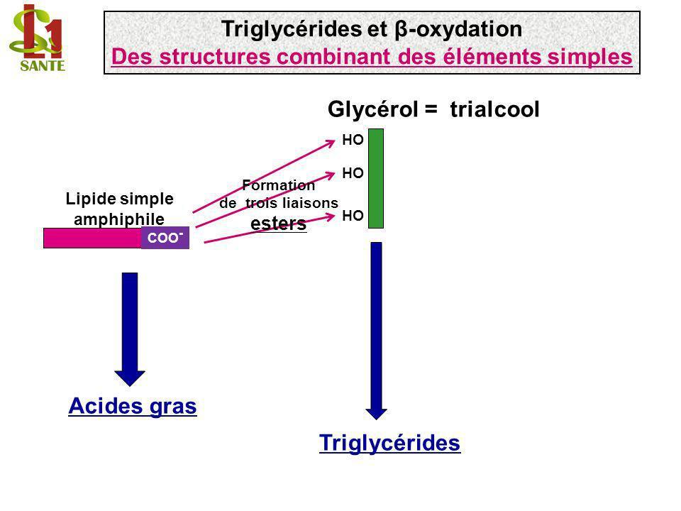 CH 3 - (CH 2 ) 11 - CH 2 - CH 2 - CH 2 - COO - + ATP CH 3 - (CH 2 ) 11 - CH 2 - CH 2 - CH 2 - C - O AMP + P Pi O = acyl-CoA synthase CH 3 - (CH 2 ) 11 - CH 2 - CH 2 - CH 2 - C S - CoA O = AMP 2 Pi HS- CoA acyl-CoA synthase G o = -32,5 kJ/mole HS - CoA Carnitine CH 3 - (CH 2 ) 11 - CH 2 - CH 2 - CH 2 - C Carnitine O = CH 3 H 3 C-N + -CH 2 -CH-CH 2 -COO - CH 3 OH Carnitine acyltransférase I Activation des acides gras Acide palmitique C16:0 Triglycérides et β-oxydation Les acides gras des triglycérides : une source dénergie (4/4)