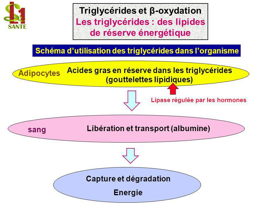 1 CH 2 O O 2 C H 3 CH 2 O COCO COCO COCO 1 CH 2 OH HO 2 C H 3 CH 2 OH Mono-acylglycérol Lipase 1 CH 2 O HO 2 C H 3 CH 2 O COCO COCO Lipases (tri et diacylglycérol lipases) 1 CH 2 O HO 2 C H 3 CH 2 OH COCO Lipases (tri et diacylglycérol lipases) 1 acide gras Triglycérides et β-oxydation Libération des acides gras des triglycérides : Action des lipases