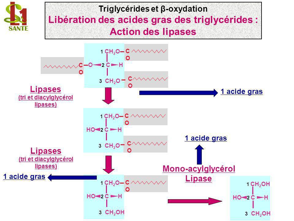 Lipases pancréatique: un agent émulsifiant = les sels biliaires TG sels biliaires Autres lipases: action sur les gouttelettes lipidiques ou les lipoprotéines Gouttelettes lipidiques (triglycérides) lipase Co- lipase FABP Acides gras Protéine de liaison des acides gras Emulsion surface d attaque lipase Activité lipase Triglycérides et β-oxydation Libération des acides gras des triglycérides par les lipases