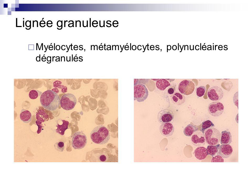 Lignée granuleuse Myélocytes, métamyélocytes, polynucléaires dégranulés