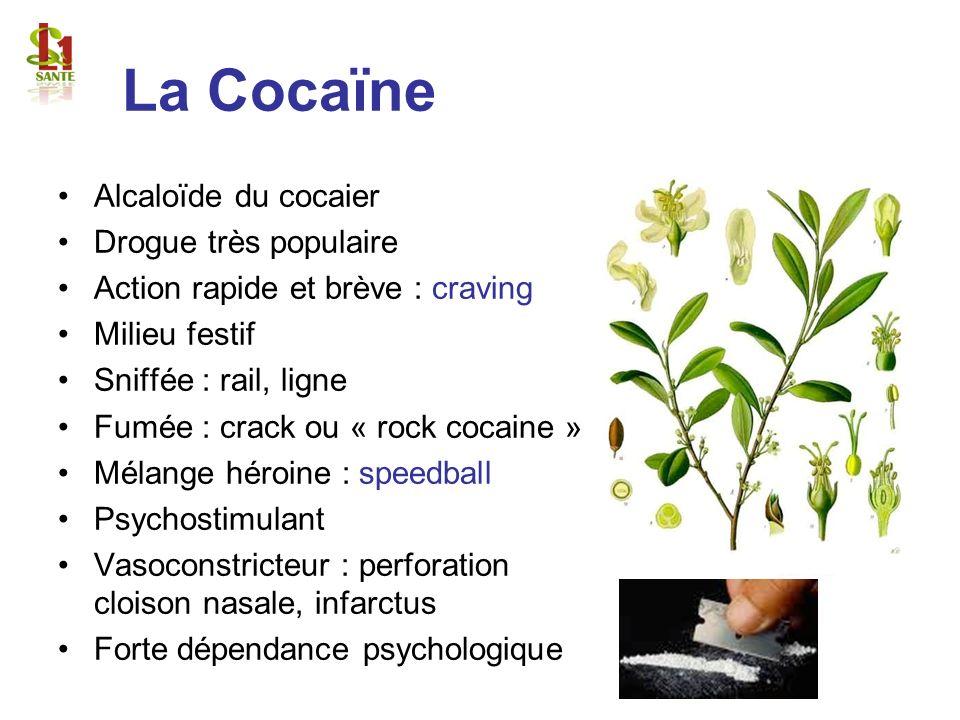 La Cocaïne Alcaloïde du cocaier Drogue très populaire Action rapide et brève : craving Milieu festif Sniffée : rail, ligne Fumée : crack ou « rock coc
