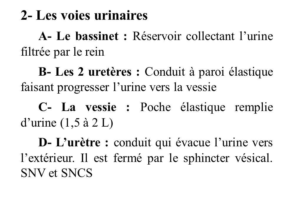 2- Les voies urinaires A- Le bassinet : Réservoir collectant lurine filtrée par le rein B- Les 2 uretères : Conduit à paroi élastique faisant progresser lurine vers la vessie C- La vessie : Poche élastique remplie durine (1,5 à 2 L) D- Lurètre : conduit qui évacue lurine vers lextérieur.