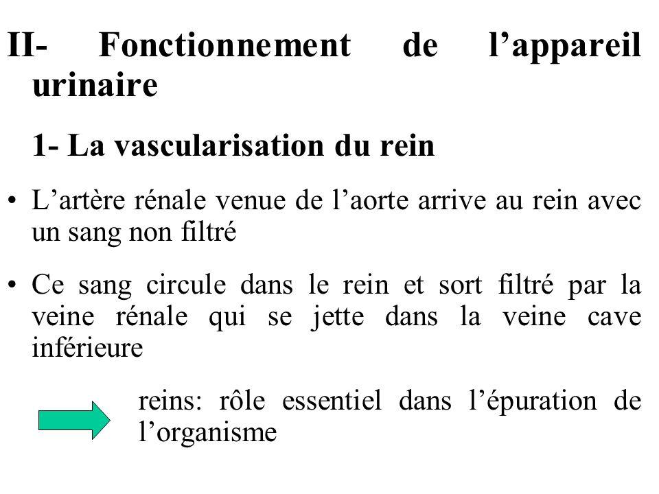 II- Fonctionnement de lappareil urinaire 1- La vascularisation du rein Lartère rénale venue de laorte arrive au rein avec un sang non filtré Ce sang circule dans le rein et sort filtré par la veine rénale qui se jette dans la veine cave inférieure reins: rôle essentiel dans lépuration de lorganisme