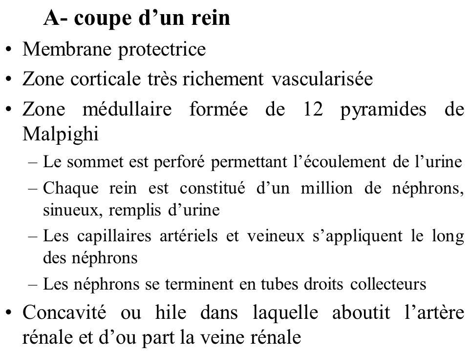 A- coupe dun rein Membrane protectrice Zone corticale très richement vascularisée Zone médullaire formée de 12 pyramides de Malpighi –Le sommet est perforé permettant lécoulement de lurine –Chaque rein est constitué dun million de néphrons, sinueux, remplis durine –Les capillaires artériels et veineux sappliquent le long des néphrons –Les néphrons se terminent en tubes droits collecteurs Concavité ou hile dans laquelle aboutit lartère rénale et dou part la veine rénale