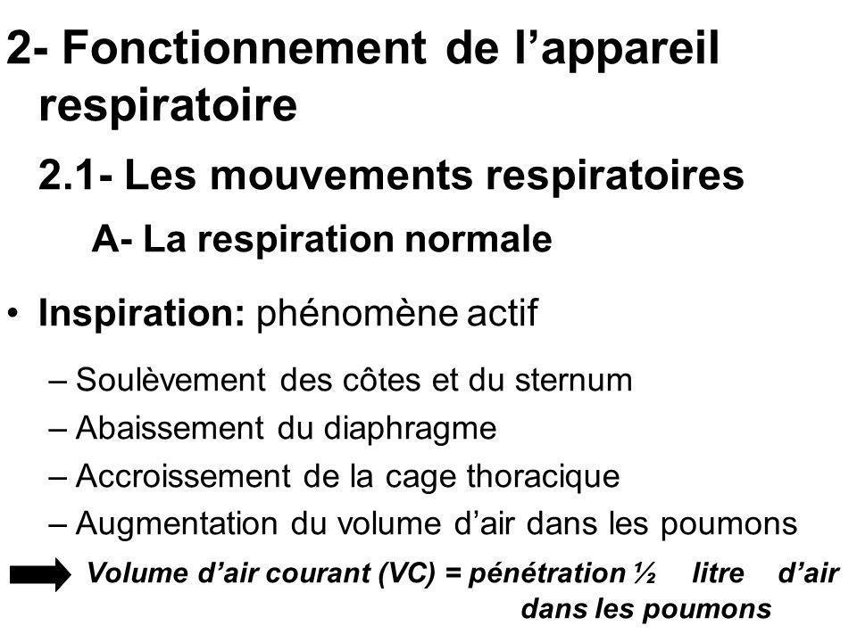 2- Fonctionnement de lappareil respiratoire 2.1- Les mouvements respiratoires A- La respiration normale Inspiration: phénomène actif –Soulèvement des