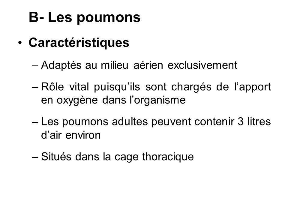 B- Les poumons Caractéristiques –Adaptés au milieu aérien exclusivement –Rôle vital puisquils sont chargés de lapport en oxygène dans lorganisme –Les