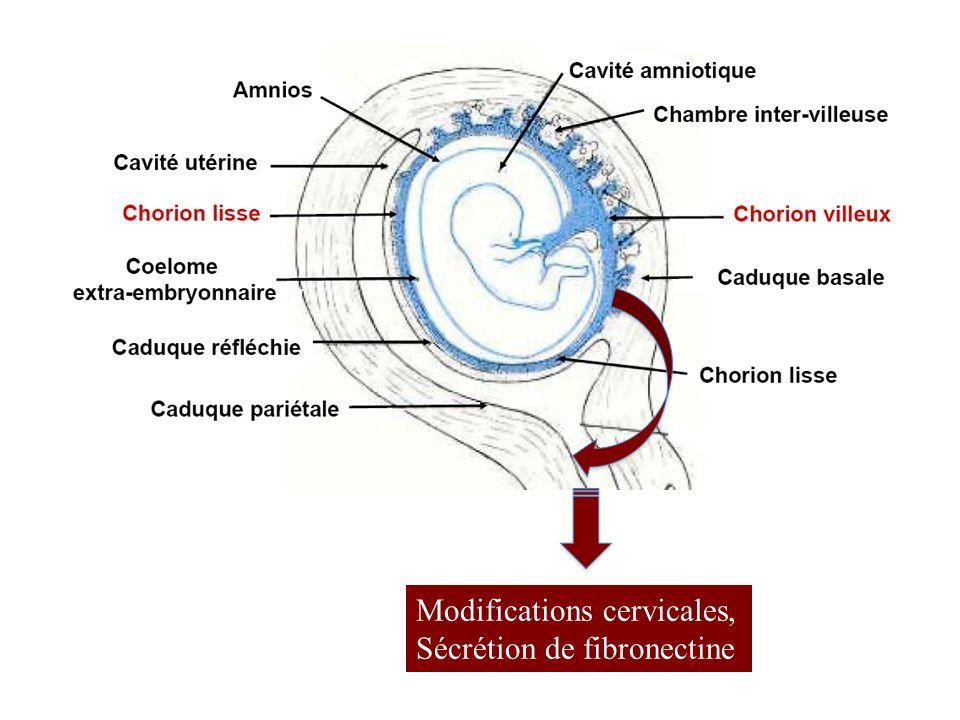 Modifications cervicales, Sécrétion de fibronectine