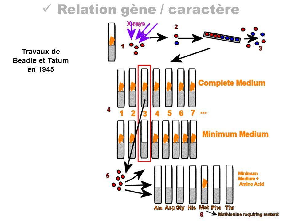 Relation gène / caractère Travaux de Beadle et Tatum en 1945