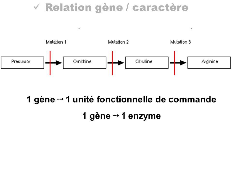 Relation gène / caractère 1 gène 1 unité fonctionnelle de commande 1 gène 1 enzyme