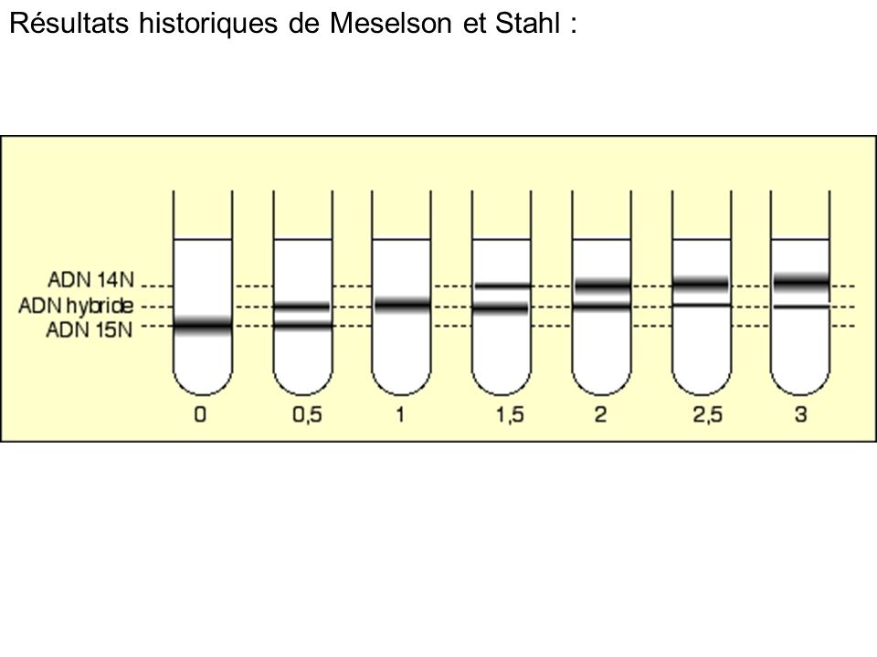 Résultats historiques de Meselson et Stahl :