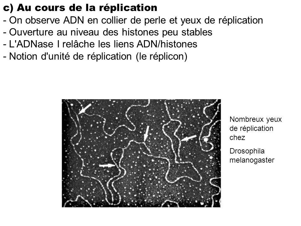c) Au cours de la réplication - On observe ADN en collier de perle et yeux de réplication - Ouverture au niveau des histones peu stables - L'ADNase I