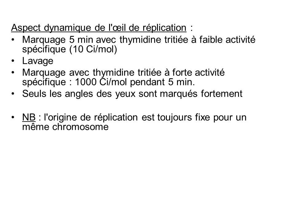 Aspect dynamique de l'œil de réplication : Marquage 5 min avec thymidine tritiée à faible activité spécifique (10 Ci/mol) Lavage Marquage avec thymidi