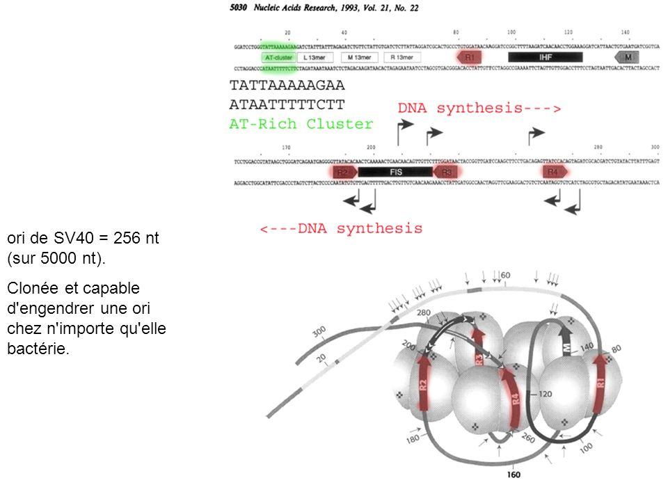 ori de SV40 = 256 nt (sur 5000 nt). Clonée et capable d'engendrer une ori chez n'importe qu'elle bactérie.