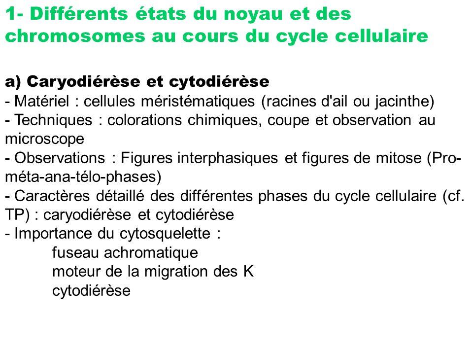 1- Différents états du noyau et des chromosomes au cours du cycle cellulaire a) Caryodiérèse et cytodiérèse - Matériel : cellules méristématiques (rac