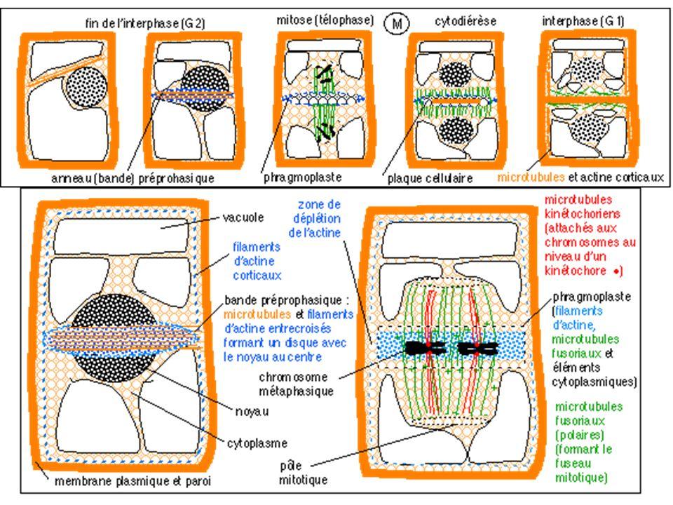 b) Caractéristiques structurales des chromosomes métaphasiques - Forme - Éléments fonctionnels - Dimensions - Taille - Coloration - Nombre dans les cellules somatiques : 2n (avec n = 23 chez l Homme) - Etablissement d un caryotype, caractéristique de l espèce.