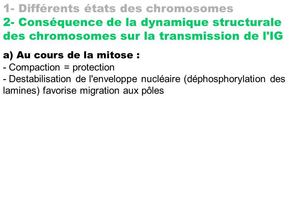 1- Différents états des chromosomes 2- Conséquence de la dynamique structurale des chromosomes sur la transmission de l'IG a) Au cours de la mitose :