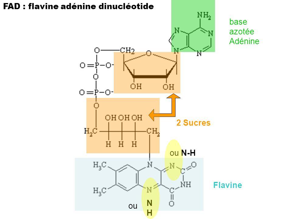 FAD : flavine adénine dinucléotide 2 Sucres Flavine base azotée Adénine ou N-H NHNH ou