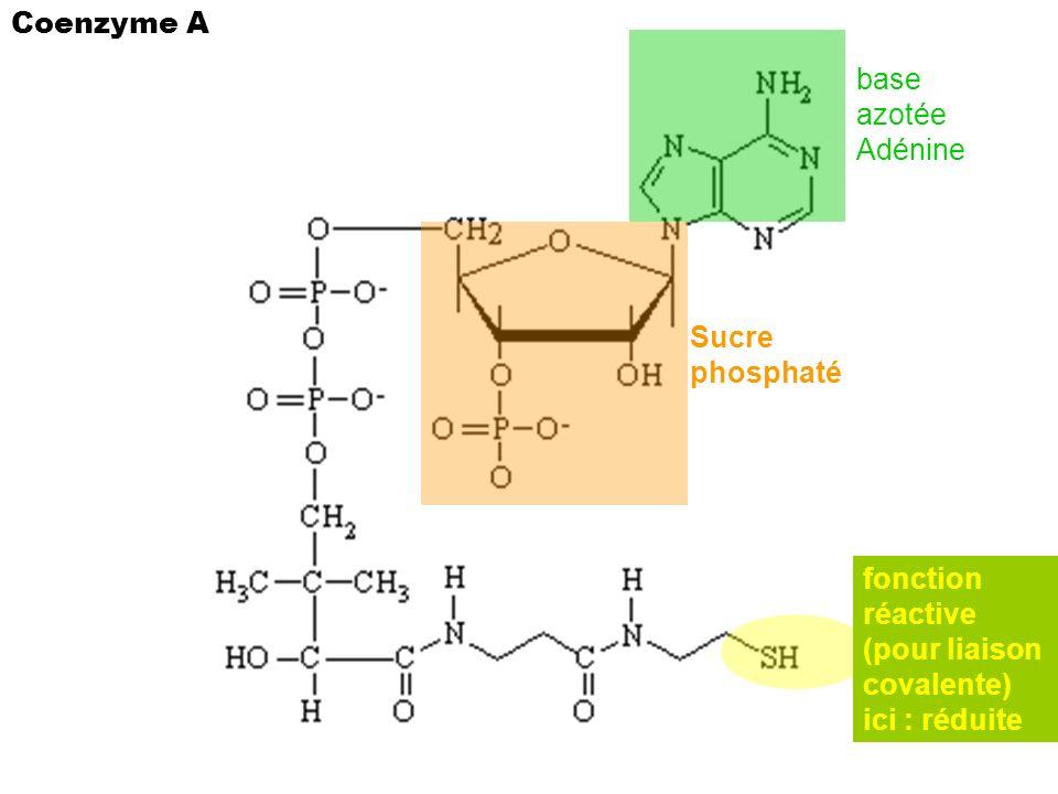 base azotée Adénine Sucre phosphaté fonction réactive (pour liaison covalente) ici : réduite Coenzyme A