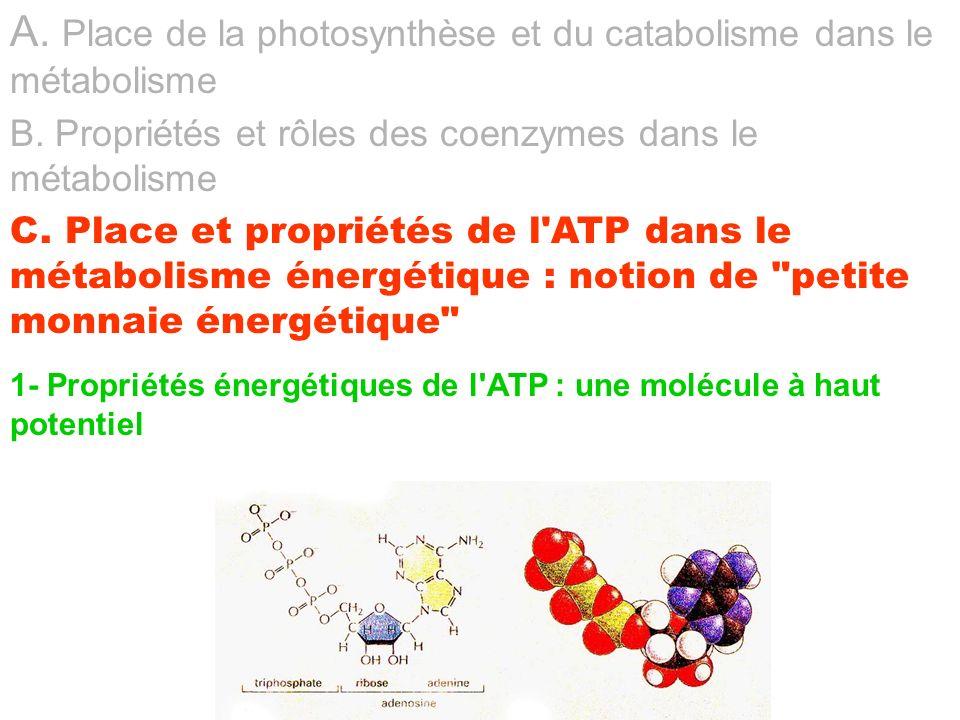 1- Propriétés énergétiques de l'ATP : une molécule à haut potentiel A. Place de la photosynthèse et du catabolisme dans le métabolisme B. Propriétés e