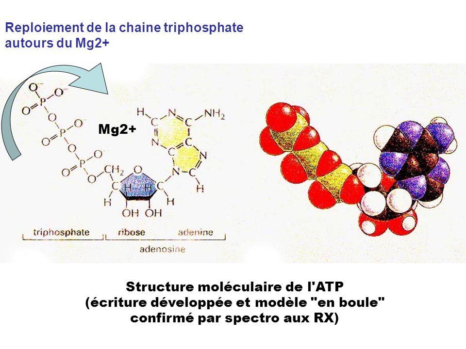 Mg2+ Structure moléculaire de l'ATP (écriture développée et modèle