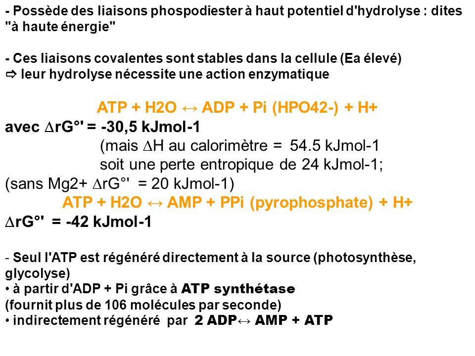 - Possède des liaisons phospodiester à haut potentiel d'hydrolyse : dites