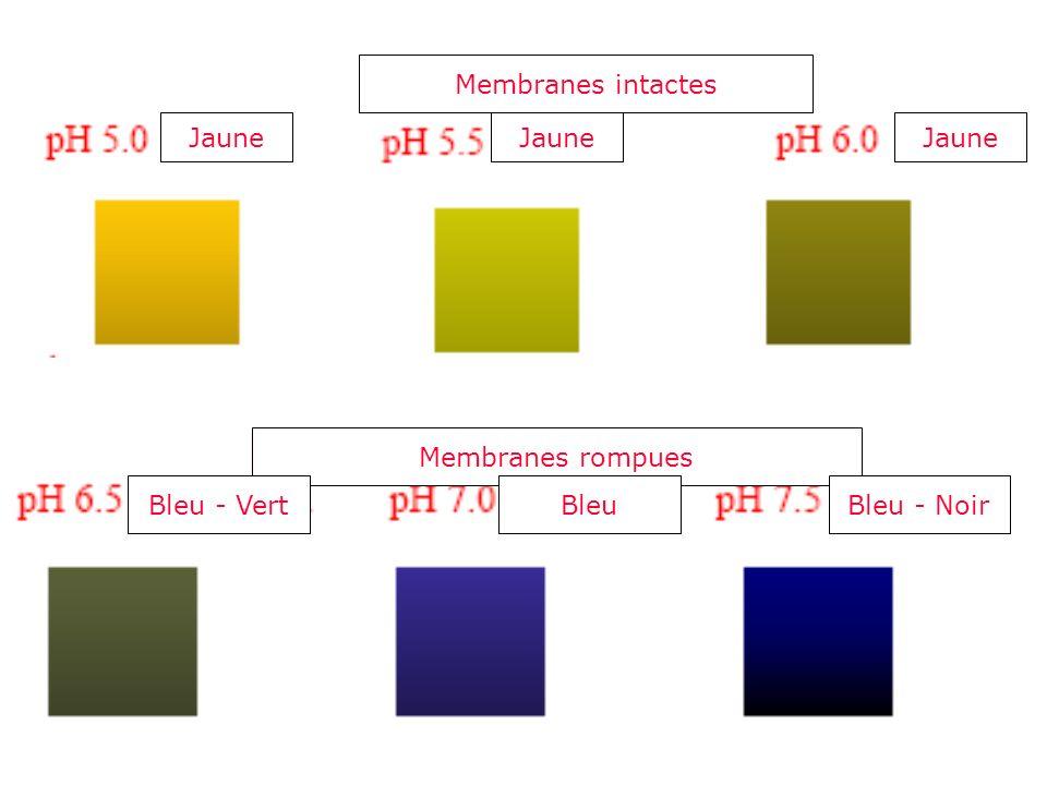 Membranes intactes Jaune Membranes rompues Bleu - VertBleuBleu - Noir