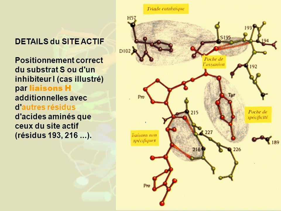 DETAILS du SITE ACTIF Positionnement correct du substrat S ou d un inhibiteur I (cas illustré) par liaisons H additionnelles avec d autres résidus d acides aminés que ceux du site actif (résidus 193, 216...).