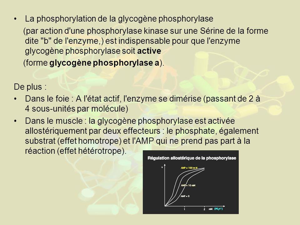 La phosphorylation de la glycogène phosphorylase (par action d une phosphorylase kinase sur une Sérine de la forme dite b de l enzyme,) est indispensable pour que l enzyme glycogène phosphorylase soit active (forme glycogène phosphorylase a).