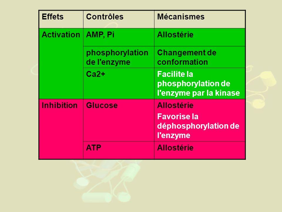 EffetsContrôlesMécanismes ActivationAMP, PiAllostérie phosphorylation de l enzyme Changement de conformation Ca2+Facilite la phosphorylation de l enzyme par la kinase InhibitionGlucoseAllostérie Favorise la déphosphorylation de l enzyme ATPAllostérie