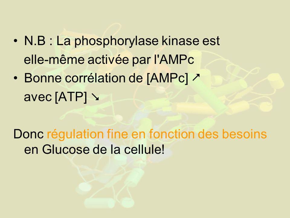 N.B : La phosphorylase kinase est elle-même activée par l AMPc Bonne corrélation de [AMPc] avec [ATP] Donc régulation fine en fonction des besoins en Glucose de la cellule!