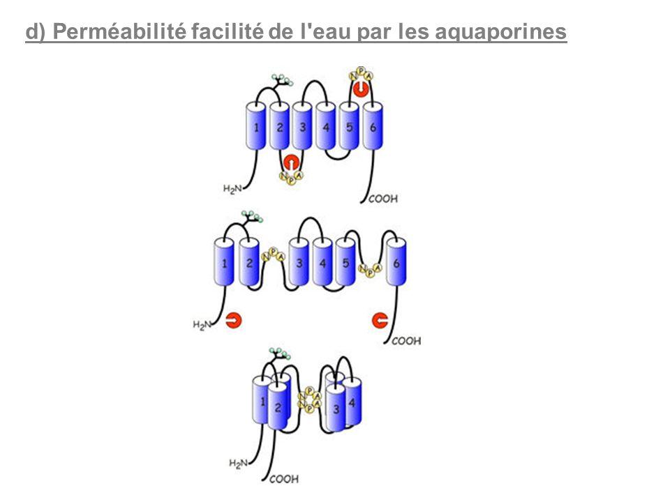 d) Perméabilité facilité de l'eau par les aquaporines