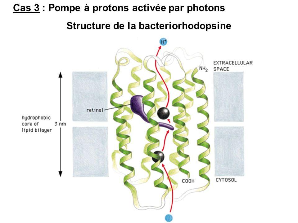 Cas 3 : Pompe à protons activée par photons Structure de la bacteriorhodopsine