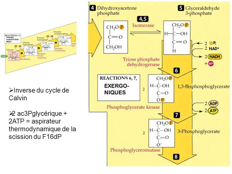 Inverse du cycle de Calvin 2 ac3Pglycérique + 2ATP = aspirateur thermodynamique de la scission du F16dP
